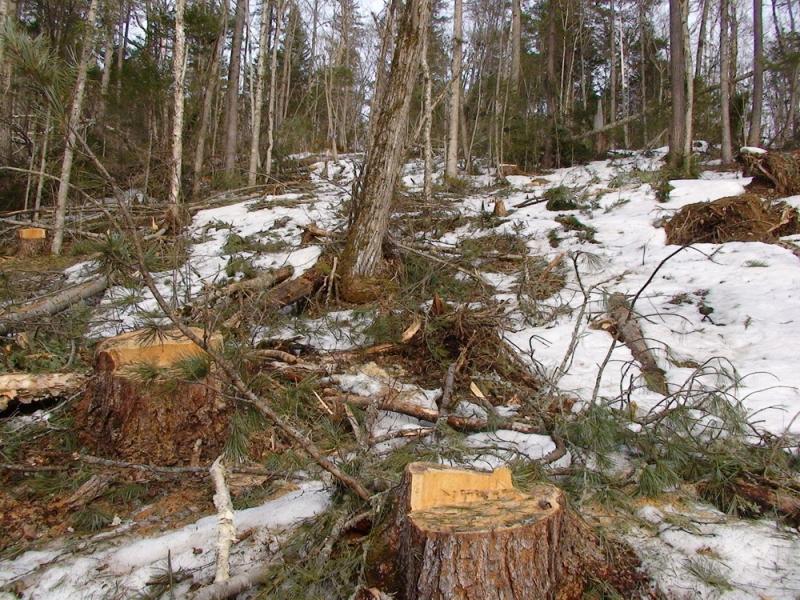 не законная вырубка деревьев в тобольске счет интенсивного отвода