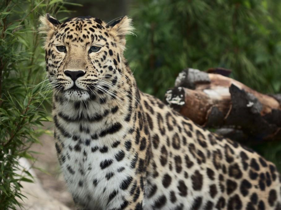 Зубр животное фото и описание