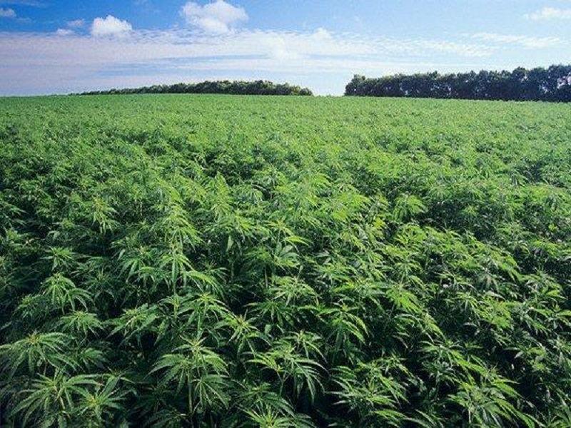 Поля марихуаны скачать не поспевшие семена конопли