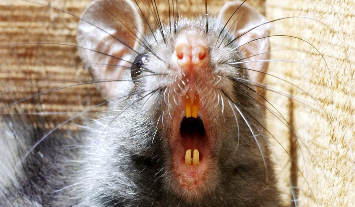 верю, каждой зубы крыс картинки мощный, полностью чёрный