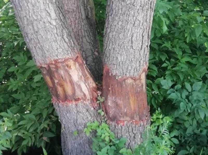 В Брянске местные жители заметили похитителя древесной коры