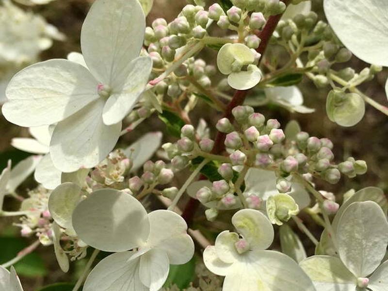 В Брянском ботаническом саду расцвела прекрасная гортензия