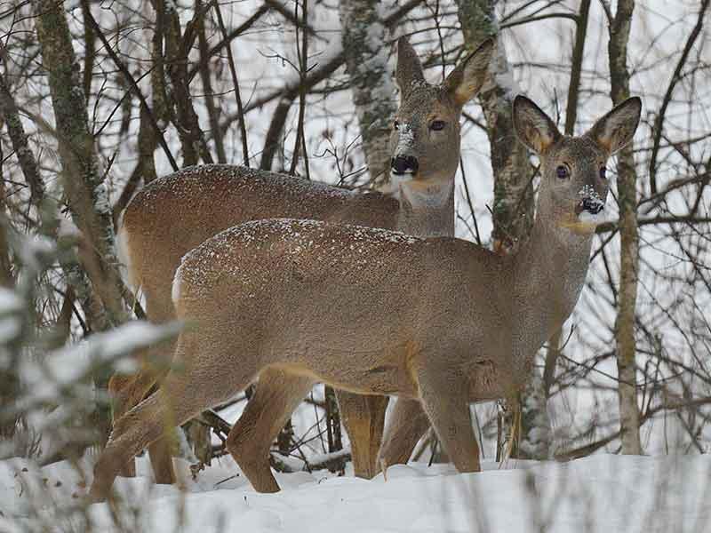 В заповеднике «Брянский лес» подведены итоги зимнего маршрутного учёта зверей